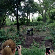 The oldest male gorilla