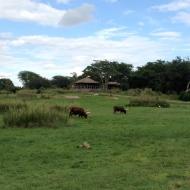 Ankole Cattle